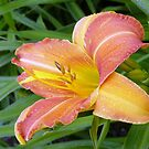 Lilly by DebbyScott