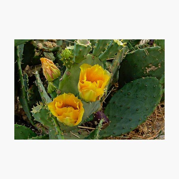 Flowering cactus Photographic Print