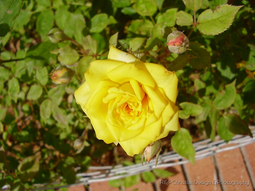 Yellow  Rose by R&PChristianDesign &Photography
