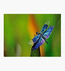 Dragon Fly Insect Dragonfly  Photographic Print