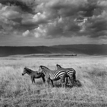 Three Zebras by leeman73