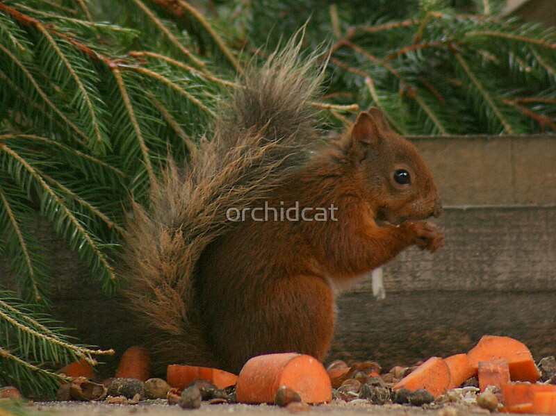 Highland red squirrel by orchidcat