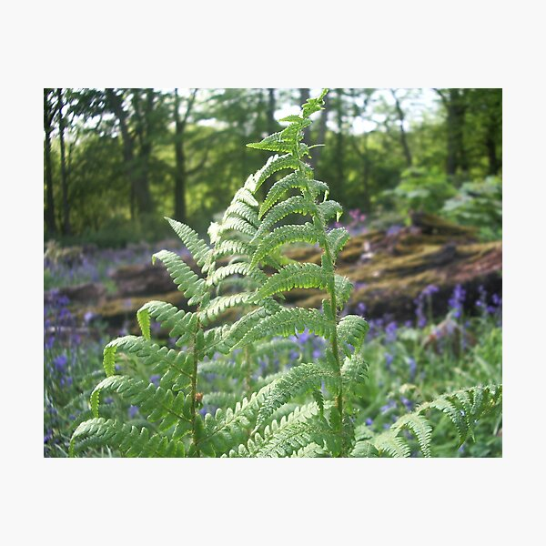 Fern fronds Photographic Print