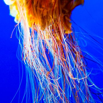 Jellyfish by picsnap