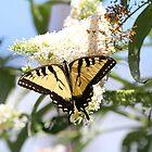 Eastern Tiger Swallowtail Butterfly on white flowers by Linda Crockett