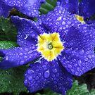 In jedem Leben muss ein wenig Regen fallen ... Bluesy Primrose von BlueMoonRose