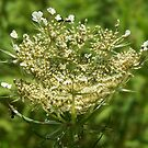 Opening Bud ~ Queen Anne's Lace by RLHall