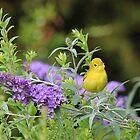 The cutest little bird - yellow warbler by Linda Crockett