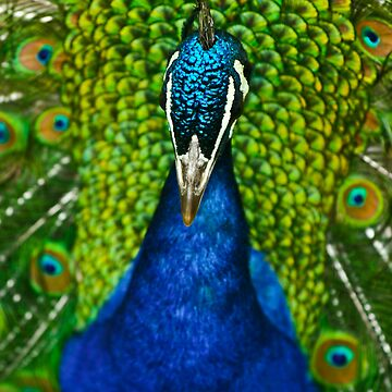 Peacock by picsnap