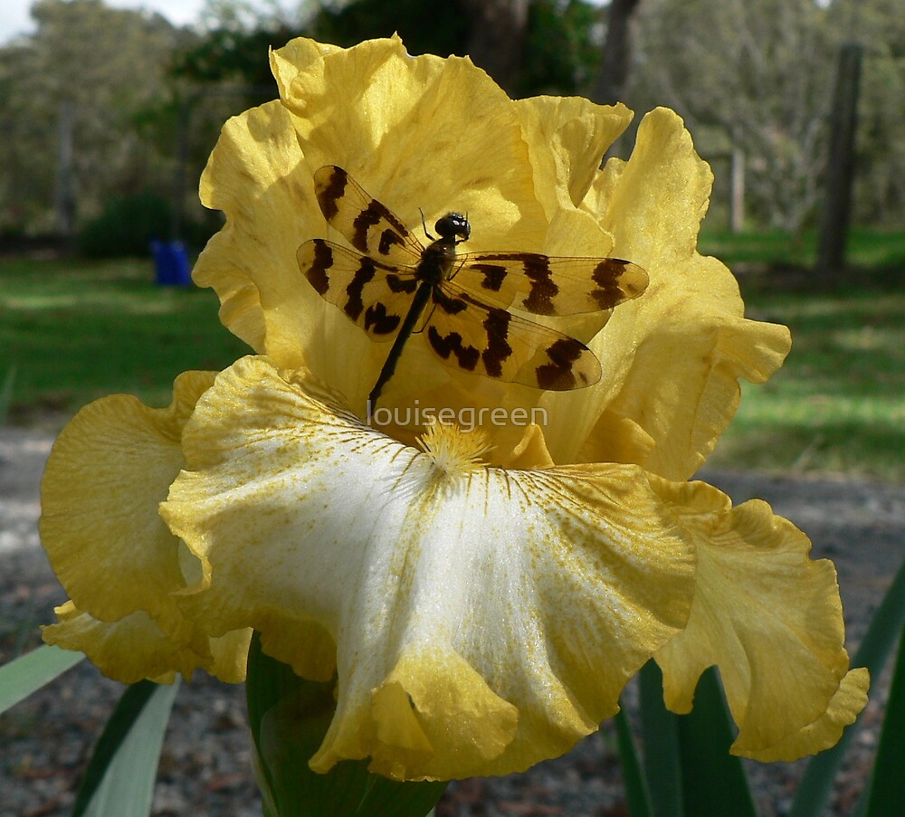 Lightbeam Iris with Dragonfly  by louisegreen