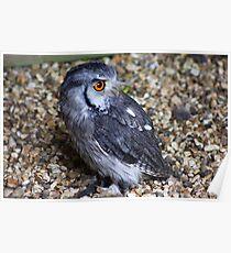 White-faced Scops Owl Poster