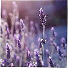 ... lavender light ... by Charlie Sedanayasa