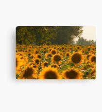 Sunflower Field Warm Photo Canvas Print