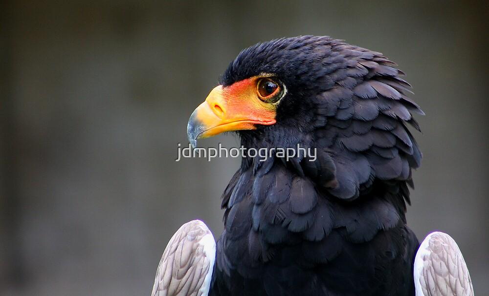 Bateleur Eagle by jdmphotography