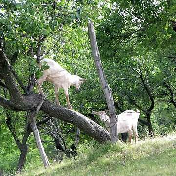 Even Goats Have Fun by ZipaC