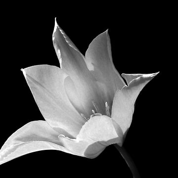 Lily, black and white image by ljm000
