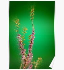 Judas Tree (Cercis siliquastrum). Photographed in the Upper Galilee Israel Poster