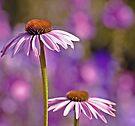 Purple Coneflowers. by Todd Rollins