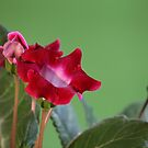 beautiful Indoor flowers gloxinia by mrivserg