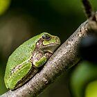 Gray Tree Frog by Michael Cummings