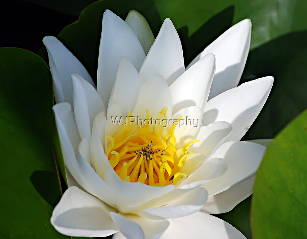 Water lily,  by WJPhotography