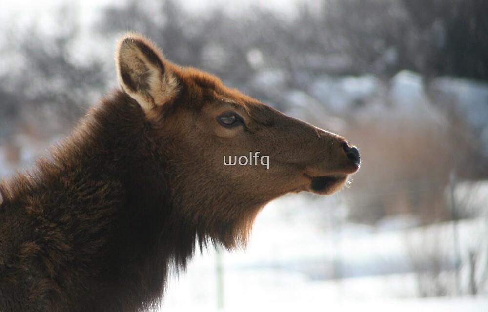 Cow Elk by wolfq