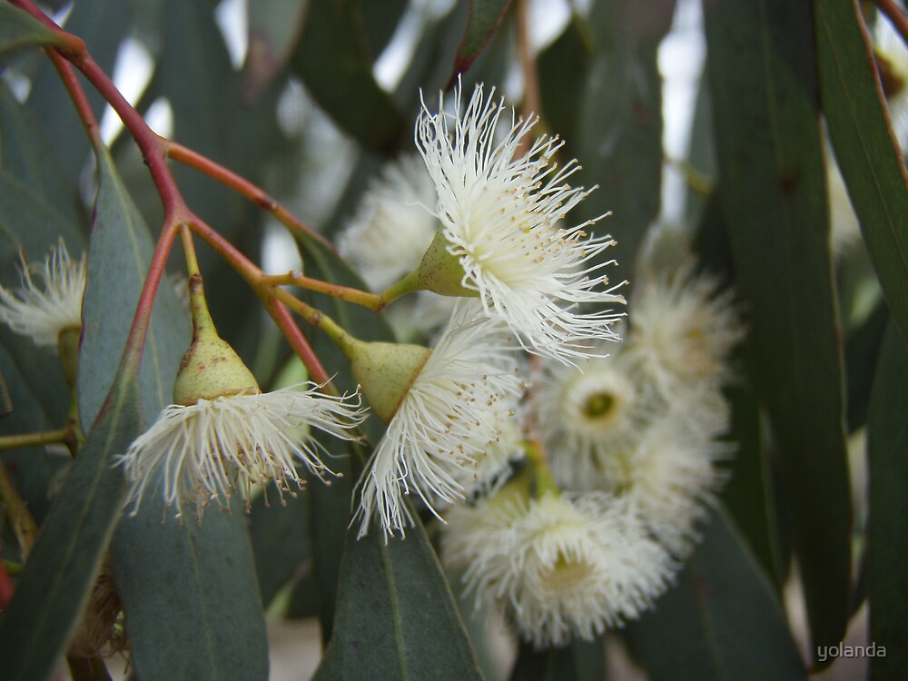 Quot Gumnut Flowers Quot By Yolanda Redbubble