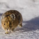 Pika On The Move by Jay Ryser