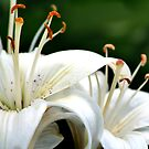 White Lilies by Nadya Johnson