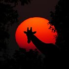 Giraffe in the Sunset Photography in Africa - Animal Art by Patterns Galore