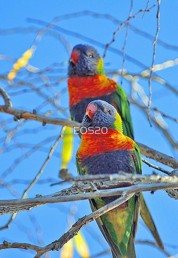Rainbow Lorikeets   by EOS20