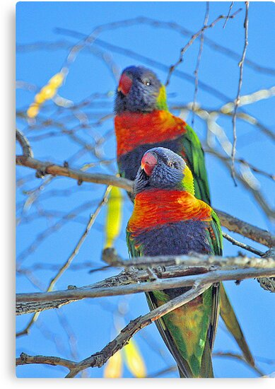 Rainbow Lorikeets   by EOS20