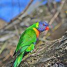 Rainbow Lorikeet  by EOS20