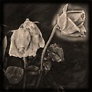 Portrait of a Dying Rose by bchrisdesigns