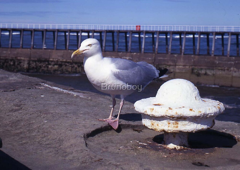Seagull at Whitby by Brunoboy