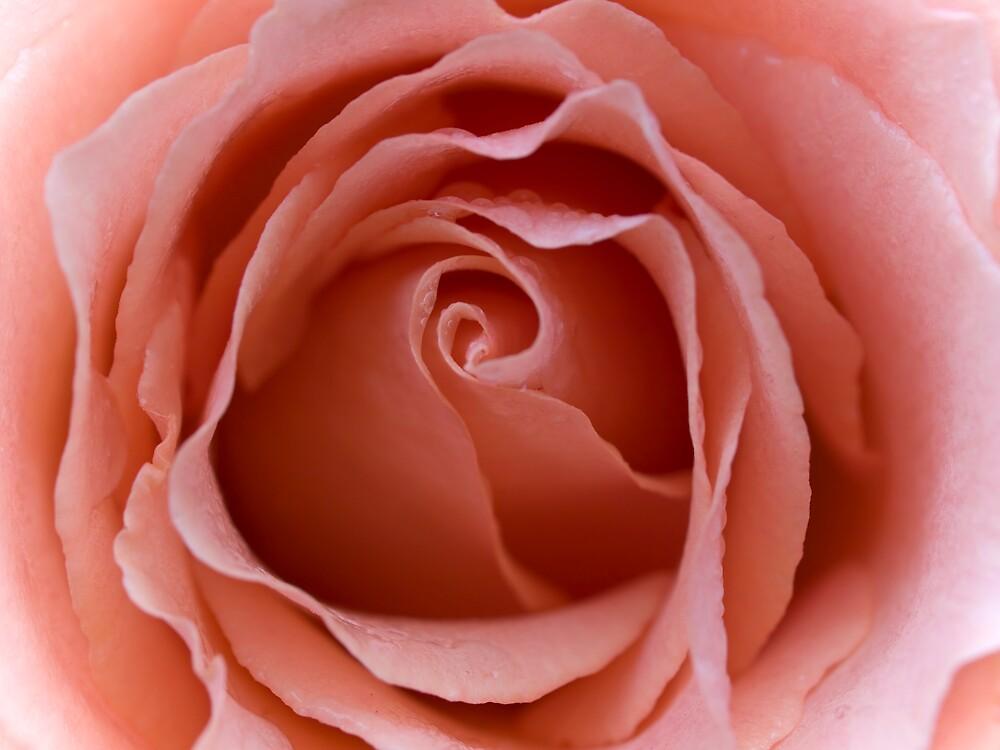 Rose by Padmita