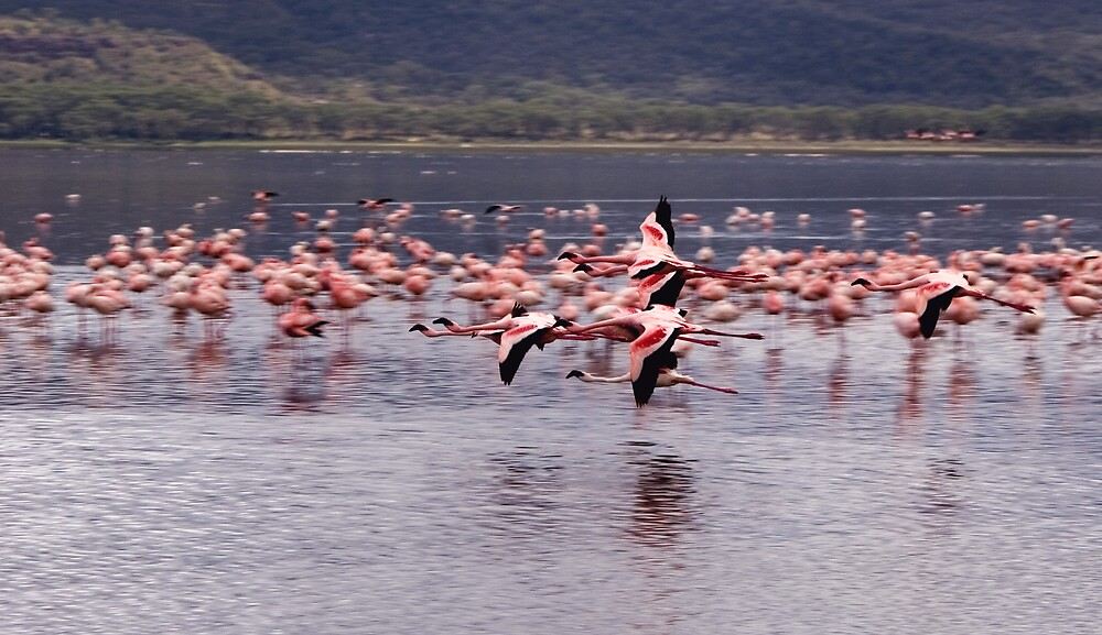 Flamingos flying at lake Nakuru, kenya by digitaldawn