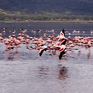 Flamingos flying at lake Nakuru, kenya by digitaldawn