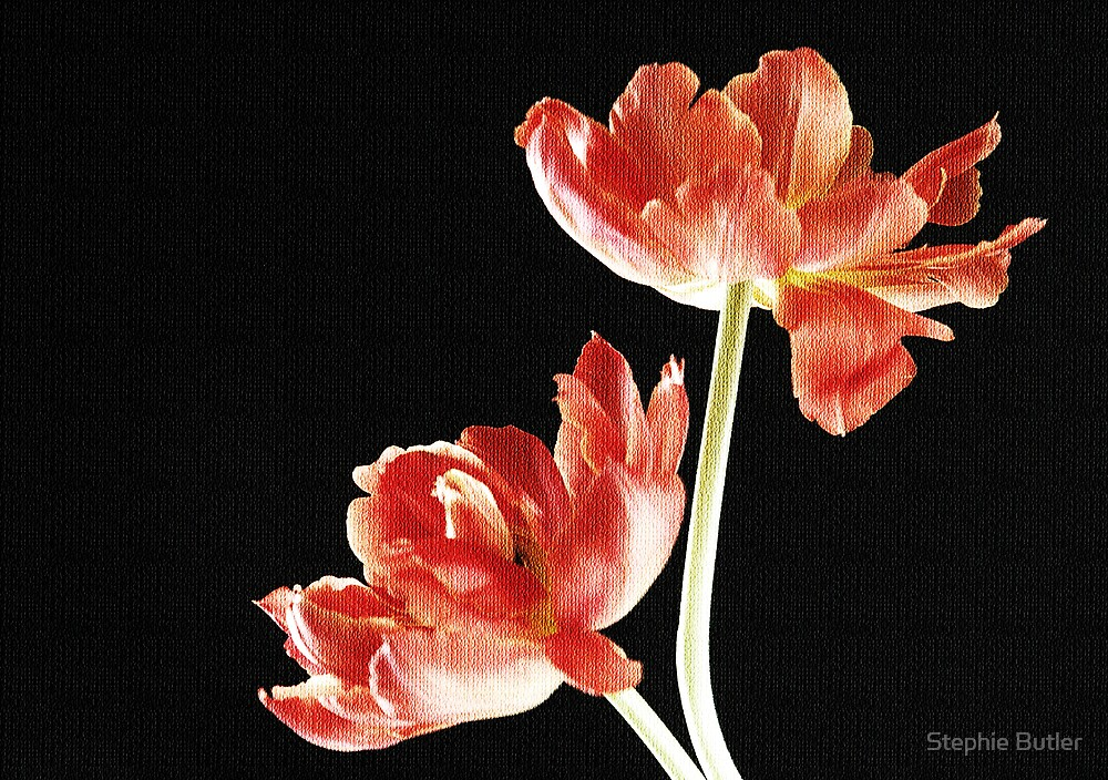 Tulips by Stephie Butler