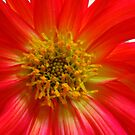 Scarlet Cactus Dahlia Supermacro by MidnightMelody