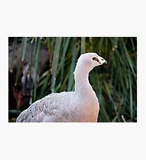 Cape Barren Goose Photographic Print