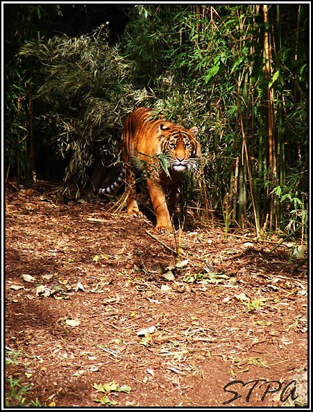 Tiger On The Prowl. by SCREAM THE PAIN AWAY Photography.