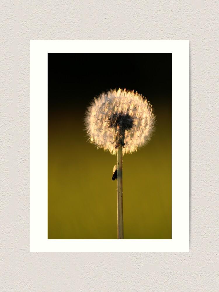 Alternate view of Dandelion Sunset Art Print