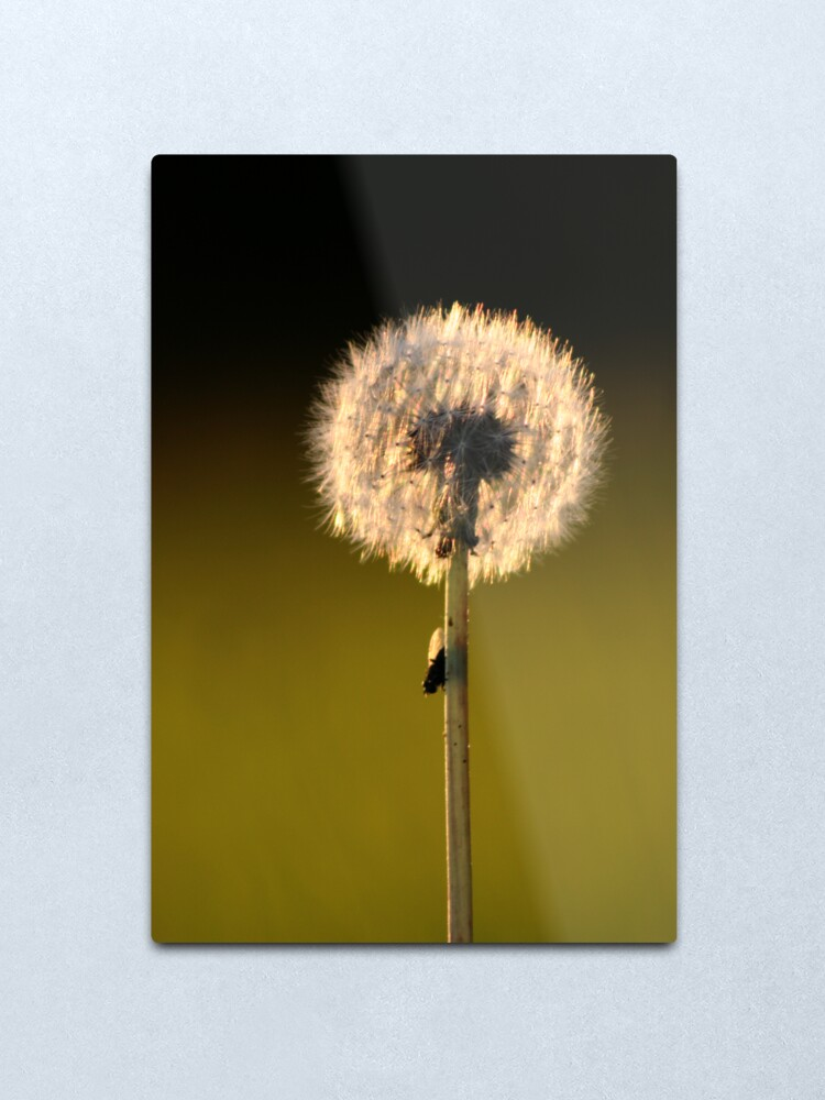 Alternate view of Dandelion Sunset Metal Print