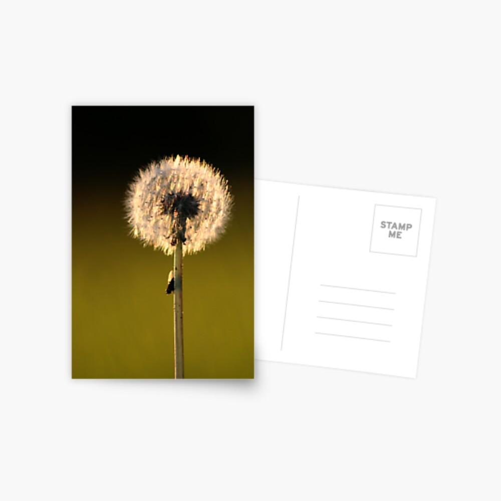 Dandelion Sunset Postcard