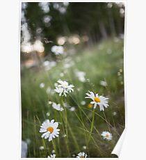 summer daisies high resolution photograph Poster