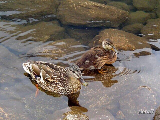 wild ducks by elena7