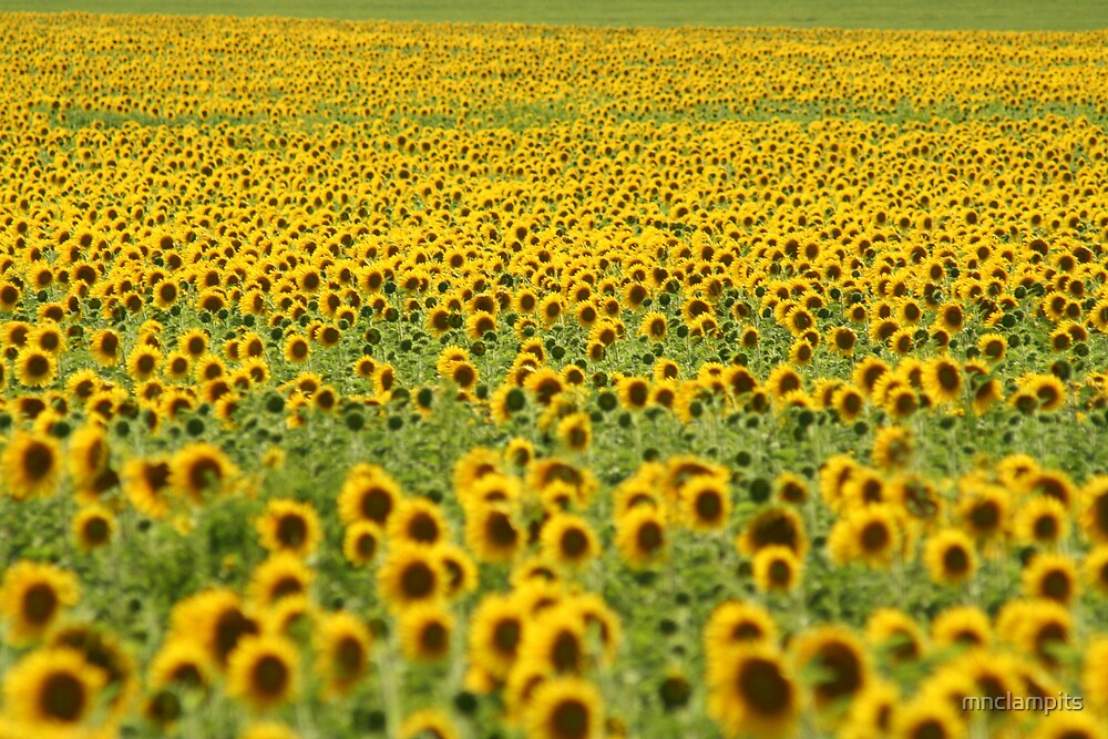 Sunflower Field by mnclampits