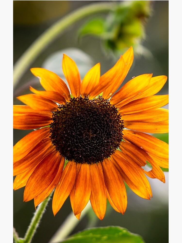 Orange Sonnenblume von nscphotography