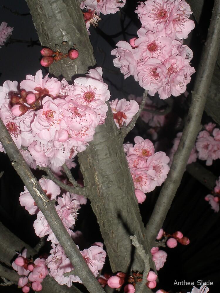 Pink Blossom - Bursting by Anthea  Slade